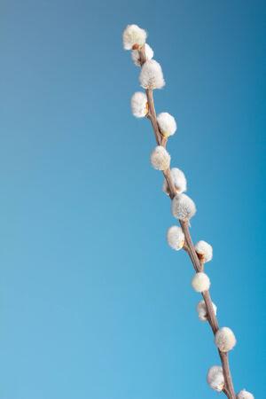 ブルーの猫柳の小枝