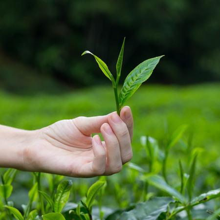 Fresh tea leaf with bud in fingers over tea bushes on plantation photo