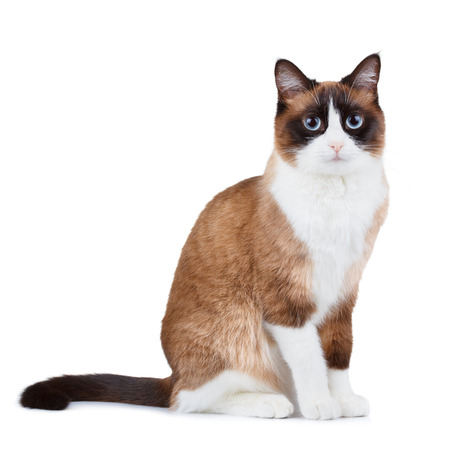 snowshoe: Snowshoe thai cat, sitting and looking at the camera, isolated on white background