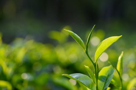 zen: Fresh green tea leaves on tea bush at Sri Lanka tea plantation Stock Photo