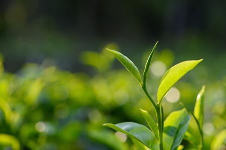 zen attitude: thé vert feuilles fraîches sur théier au Sri Lanka plantation de thé