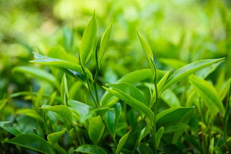 Verse groene thee bladeren op thee struik in Sri Lanka thee plantage Stockfoto