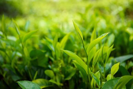 boh: Fresh green tea leaf with pekoe sprout on tea bush at Sri Lanka tea plantation