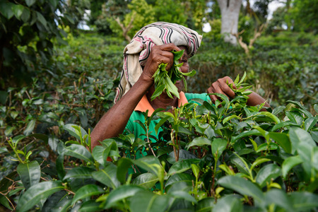 boh: AHANGAMA, SRI LANKA - MARCH 13, 2016: Women worker picking fresh tea leaves in motion on tea plantation. Editorial