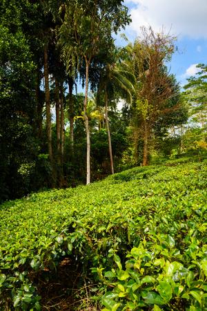 boh: Tea bushes on tea plantation Stock Photo