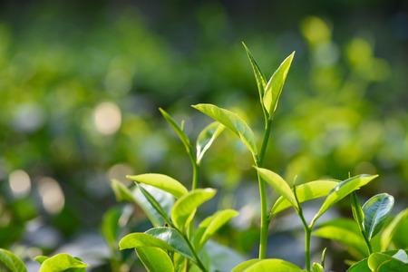 boh: Green tea leaves and pekoe buds on tea plantation Stock Photo