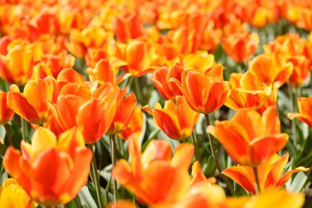 campo de flores: Blooming campo de flores de tulipanes de color naranja en un día soleado de primavera
