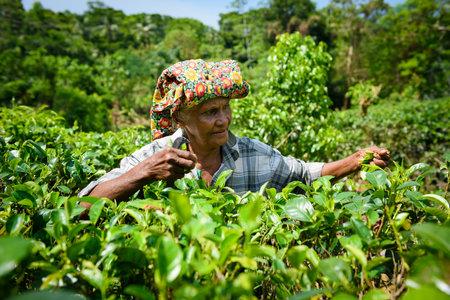 boh: AHANGAMA, SRI LANKA - MARCH 13, 2016: Women worker picking fresh tea leaves on tea plantation.