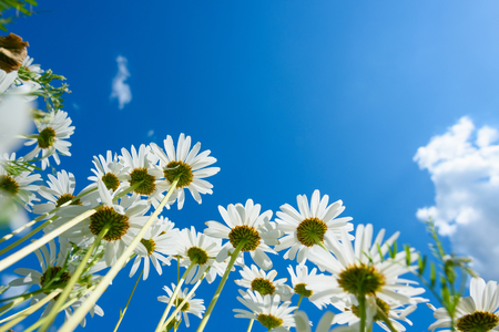 marguerite: Summer meadow with daisy flowers, view from the ground Stock Photo