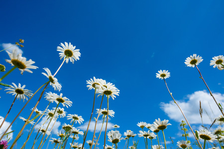 sunshine background: Summer meadow with daisy flowers and grass, view from the ground Stock Photo