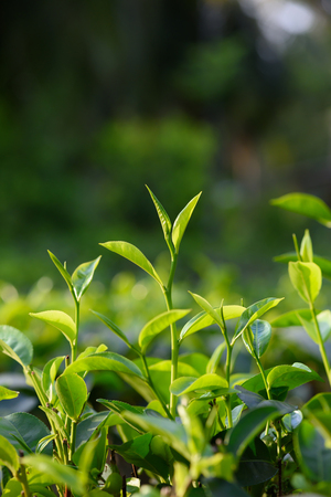 Fresh young green tea leaf sprout on tea bush Stock Photo