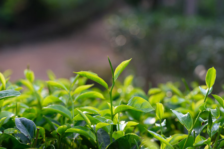 Young green tea leaf sprout on tea bush at plantation