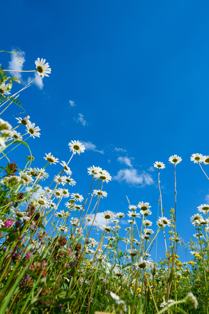 sky and grass: Summer field with different grass and daisy flowers over blue sky. View above from the ground