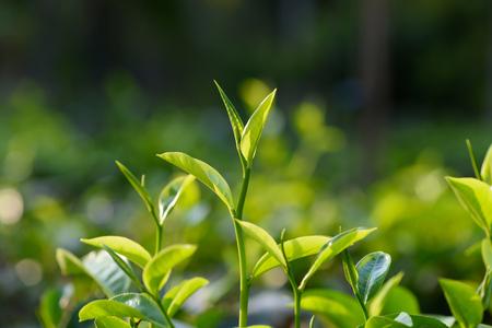 Čerstvý mladý zelený čaj listuje na čajovém křoví na plantáži