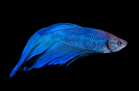 betta: Blue siamese fighting fish isolated on black background