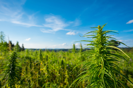 Marijuana plant at outdoor cannabis farm field Stock Photo