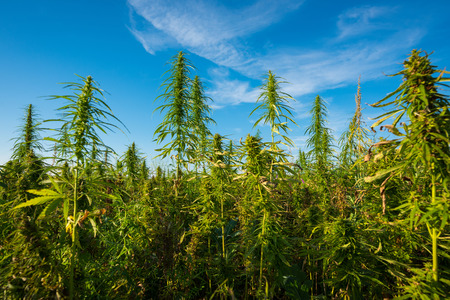 Marijuana plants at outdoor cannabis farm field
