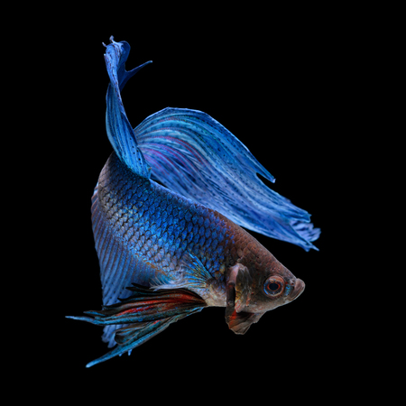 blue fish: Blue siamese fighting fish, betta splendens, isolated on black background