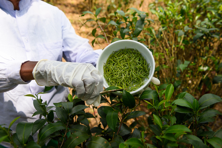 protective: Worker picking fresh tea buds, called pekoe or white tea, on tea plantation at Sri Lanka. Stock Photo