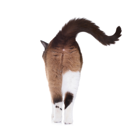 Snowshoe cat walking away view from back side Stockfoto