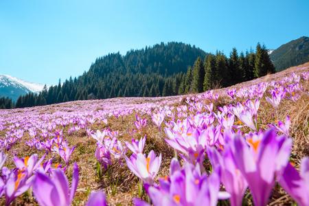 Wild spring flowering crocuses Stock Photo