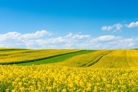 Yellow flowering rape field with in the rural countryside landscape at sunny spring day with blue sky