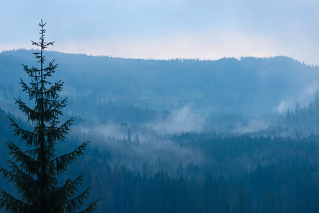 foreground focus: Mountain forest at dusk with low clouds and fog between the trees, focus on foreground pine Stock Photo