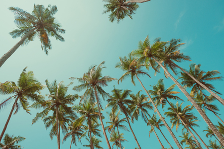 Palm trees with coconuts at clear summer day vintage toned