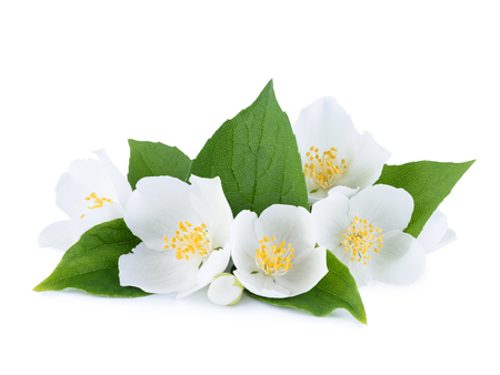 Flowers of jasmine with jasmine leafs and buds isolated on white background Stock Photo