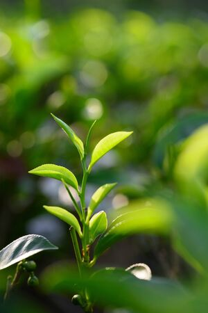 Fresh green tea leaves and sprout on tea bush at Sri Lanka Stock Photo