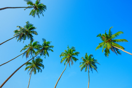 Green palm trees crowns over clear summer blue sky