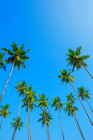 Green coconut palm tree crowns on beach and blue clear sky with copy space
