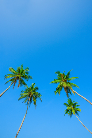 Green leafs and crowns of coconut palm trees on the beach at clear sunny summer day with clean sky Stock Photo