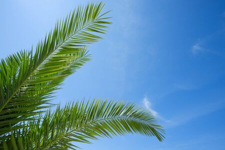 Fresh lush green leafs of palm tree over blue sky background boder composition with copy space Stock Photo