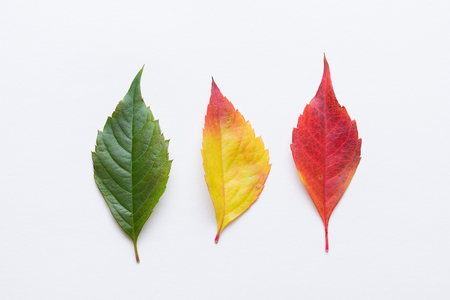 Autumn leafs colorful rainbow color gradient from green to red summer autumn season change concept