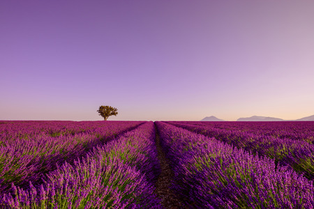 Sunrise on lavender field with rows of blooming bushes and lonely tree on horizon Imagens