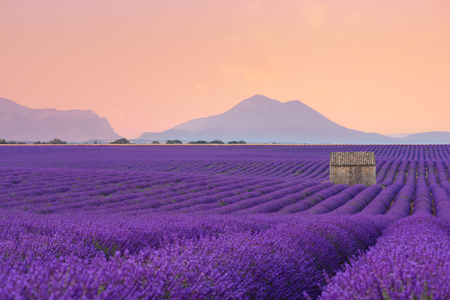 Lavender field Provance France at sunrise