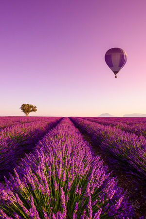 Lavender field rows at sunrise hot air baloon and lonely tree at Valensole Plateau Provence iconic french landscape