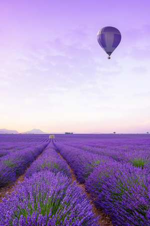 Lavender field Provance France at sunrise. Infinite blossoming lavender bushes rows to the horizon with hot air baloon.