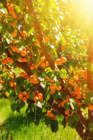 Apricots on tree at agriculural farm south France
