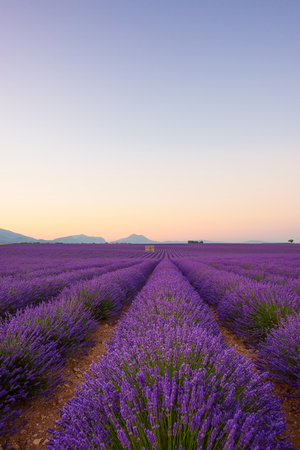Lavender field at sunrise Valensole Plateau Provence iconic french landscape fields with rows of blossoming lavender bushes