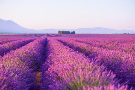 Lavender field Provance France at sunrise light Foto de archivo