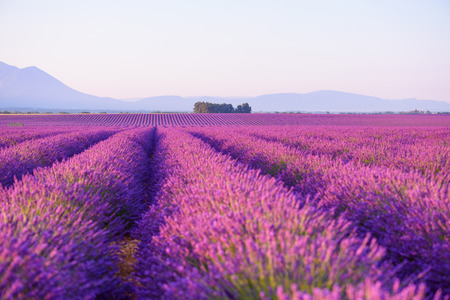 Lavender field Provance France at sunrise light 写真素材