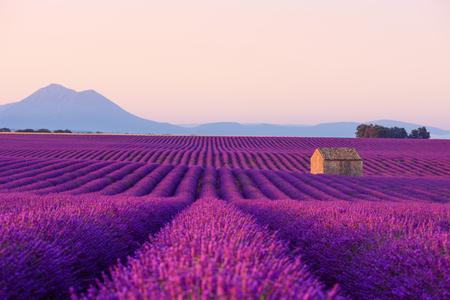 Maison de ferme dans un magnifique champ de lavande en fleurs en Provence