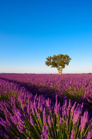 Lavender field at morning Provence France Stock fotó