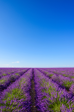 Blossoming lavender bushes rows in summer Valensole France
