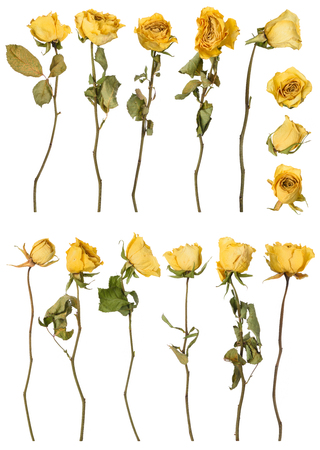 Dried roses set isolated on white background. Dry yellow flowers.