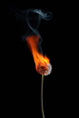 Dandelion on fire burning with smoke and flames isolated on black background Banco de Imagens