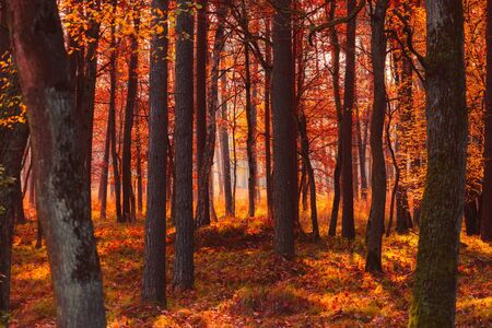 Autumn forest at misty warm fall morning light
