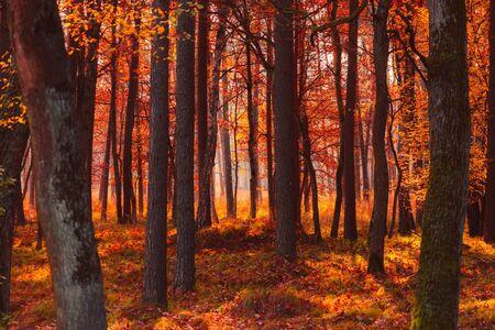 Forêt d'automne à la lumière du matin d'automne chaud brumeux